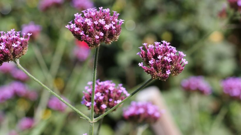How to take verbena? The herb of spells