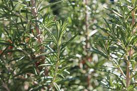know health benefit of rosemary