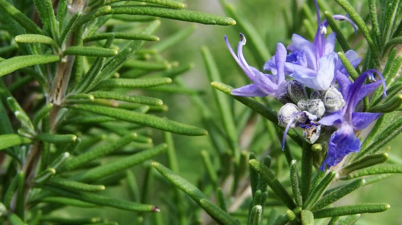 What are the health benefits of rosemary?
